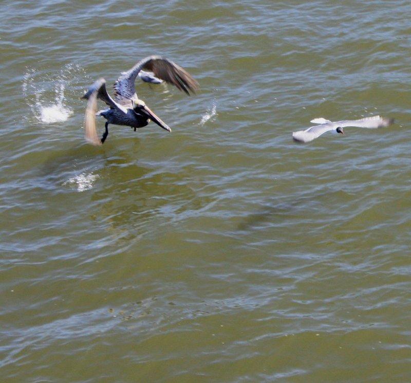 pelican chasing gull